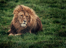 Lion on grass Royalty Free Stock Photography