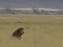Lion in the grass. Lion sitting in the grass in Tanzania Stock Photography