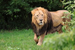 Lion in grass Royalty Free Stock Photo