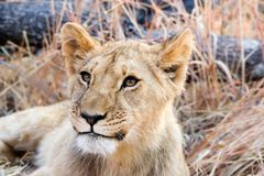 Lion in grass royalty free stock photography