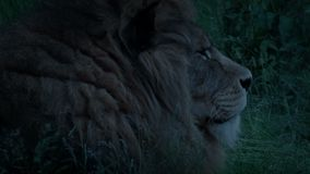 Lion In The Grass At Dusk. Large male lion lying in the grass in the evening stock video footage
