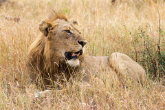 Lion in the grass Royalty Free Stock Images