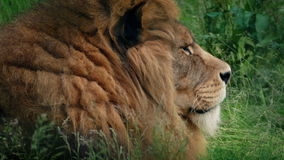 Lion In The Grass. Large male lion lying in the grass profile shot stock video