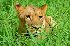 Lion in the grass. A lion lying down in a grass in a reservation in Mauritius Royalty Free Stock Image
