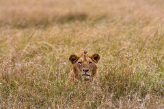 Lion in the grass. Masai Mara Royalty Free Stock Image