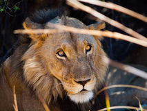 Lion in grass Stock Images