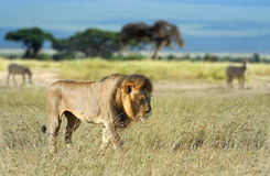 Lion in grass Stock Photo
