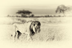 Lion in grass. National park of Africa. Vintage effect Stock Image