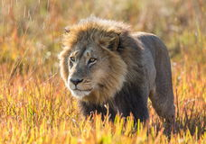 Lion in the grass. Okavango Delta.  Royalty Free Stock Images