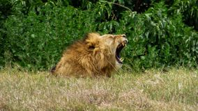 A lion is in the grass yawns and show teeth royalty free stock image