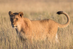 Lion in the grass royalty free stock image