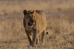 Lion in the grassland Royalty Free Stock Images