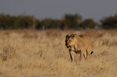 Lion in grassland Stock Images