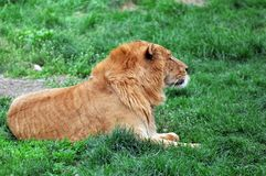 The lion. Of the grasslands Royalty Free Stock Photography