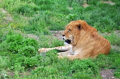 The lion. Of the grasslands Royalty Free Stock Image