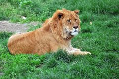 The lion. Of the grasslands Royalty Free Stock Images