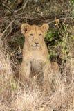 Lion in grasslands on the Masai Mara, Kenya Africa royalty free stock photo