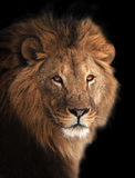 Lion great king portrait isolated on black Royalty Free Stock Photos