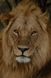 Lion with Great Mane Stock Image