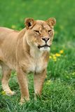 Lion in green grass Royalty Free Stock Images
