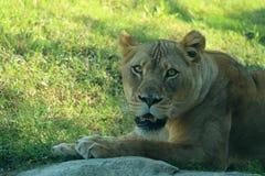Lion grognant Photo libre de droits
