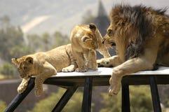 Lion grondant Cubs Image libre de droits