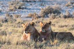 Lion Group в Etosha стоковая фотография rf