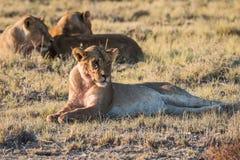 Lion Group в Etosha стоковое изображение