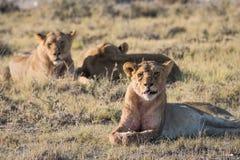 Lion Group in Etosha Lizenzfreies Stockbild