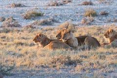 Lion Group в Etosha стоковые фотографии rf