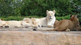 Lion Group mit großer weißer Löwin Lizenzfreie Stockfotos