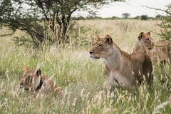 Lion Group. Pride of female lions looking to begin a hunt, Botswana stock photo