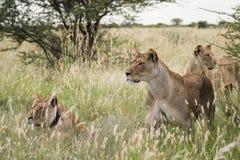 Lion Group Stock Photo
