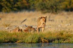 Lion group on a waterhole, etosha nationalpark, namibia, panthera leo Royalty Free Stock Photos
