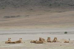 Lion Group wilde gefährliche Säugetier-Afrika-Savanne Kenia Lizenzfreies Stockbild