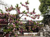 Lion Grove Garden, a classical Chinese garden and part of Unesco World Heritage in Suzhou. Suzhou, China - March 23, 2016: Cherry blossoms in Lion Grove Garden royalty free stock photography