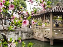 Lion Grove Garden, a classical Chinese garden and part of Unesco World Heritage in Suzhou. Suzhou, China - March 23, 2016: Cherry blossoms in Lion Grove Garden stock images