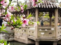 Lion Grove Garden, a classical Chinese garden and part of Unesco World Heritage in Suzhou. Suzhou, China - March 23, 2016: Cherry blossoms in Lion Grove Garden stock image