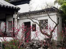 Lion Grove Garden, a classical Chinese garden and part of Unesco World Heritage in Suzhou. Suzhou, China - March 23, 2016: Cherry blossoms in Lion Grove Garden royalty free stock photos