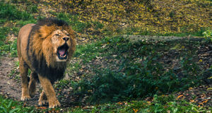 Lion growling Stock Images