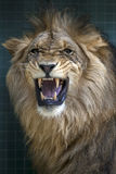 A lion growls inside its enclosure at the Berlin Zoo in Berlin in Germany. A lion growls and shows its teeth inside its enclosure at the Berlin Zoo in Berlin in Royalty Free Stock Images