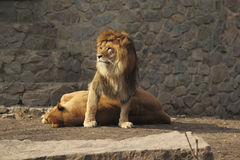 Lion guard Royalty Free Stock Photo