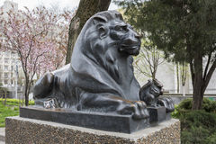 Lion guarding the stock photography