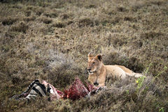 Lion Guarding Zebra Kill Royaltyfria Foton