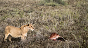 Lion Guards Zebra Kill Arkivfoton