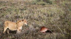Lion Guards Zebra Kill Stock Photos