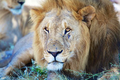 Lion having rest at etosha. Namibia Royalty Free Stock Images