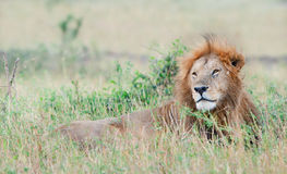 Lion having a rest. Lion Panthera leo nubica, known as the East African or Massai Lion Stock Images
