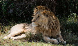 Lion having a rest in a shade. Stock Photos