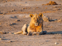 Lion having a rest. Young male lion having a rest in the evening Stock Photo
